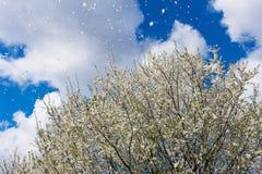 La scena magnifica della ciliegia susina sboccia galleggiamento dei petali del fiore Immagini Stock