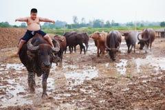 La scena tradizionale rurale della Tailandia, ragazzo tailandese del pastore dell'agricoltore sta guidando un bufalo, tendente i  Immagini Stock Libere da Diritti