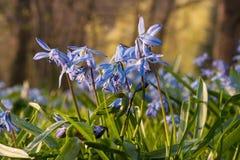La scille sibérienne bleue fleurit la floraison au printemps, avec des arbres à l'arrière-plan Image libre de droits