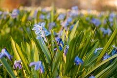 La scille sibérienne bleue fleurit la floraison en parc au printemps au coucher du soleil Photographie stock libre de droits