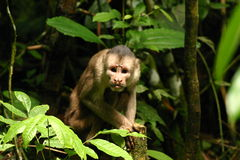 La scimmia 2 fissare Immagine Stock