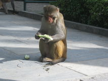 La scimmia Fotografia Stock Libera da Diritti