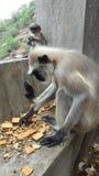 La scimmia Immagine Stock