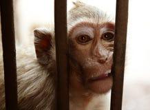 La scimmia Fotografia Stock