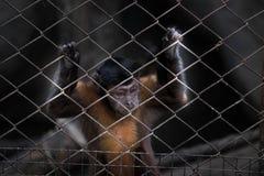 La scimmia Fotografie Stock