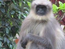 La scimmia Fotografie Stock Libere da Diritti