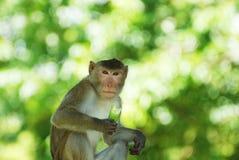 La scimmia adulta Fotografia Stock Libera da Diritti
