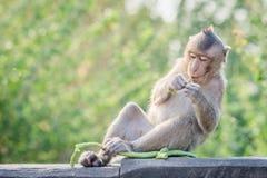 La scimmia affamata sta mangiando fotografia stock