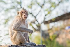 La scimmia affamata sta mangiando Fotografia Stock Libera da Diritti