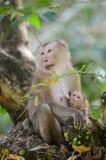 La scimmia alimenta il suo bambino. Immagini Stock