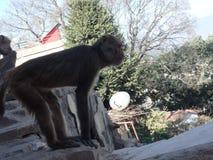 La scimmia appoggia l'allungamento Fotografie Stock Libere da Diritti