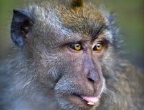 La scimmia attacca fuori la lingua Fotografia Stock