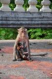 Scimmia della madre ed il suo piccolo bambino Immagini Stock
