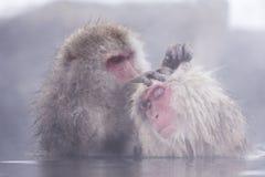 La scimmia della neve di Jigokudani che bagna onsen il sightseein famoso della sorgente calda immagini stock