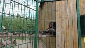 La scimmia dello scimpanzè in zoo sbuccia e mangia un'arancia stock footage