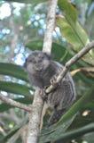 La scimmia di Ubatuba Fotografie Stock