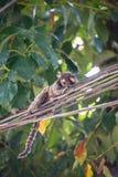 La scimmia divertente e sconosciuta dall'isola Ilha grande, Rio del Brasile fa Fotografia Stock Libera da Diritti