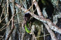 La scimmia e la lecca-lecca Fotografia Stock