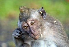 La scimmia graffia l'orecchio Fotografia Stock Libera da Diritti