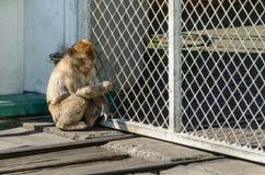 La scimmia ha preso in zoo Immagini Stock Libere da Diritti