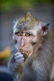 La scimmia mangia Immagine Stock
