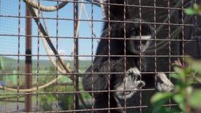 La scimmia mangia allo zoo stock footage