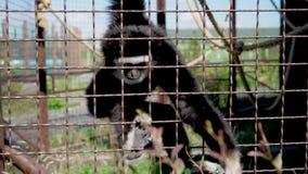 La scimmia mangia allo zoo video d archivio