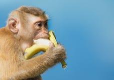 La scimmia mangia la banana Fotografie Stock