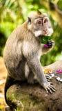 La scimmia mangia la foglia della banana Immagini Stock Libere da Diritti