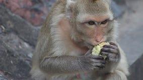 La scimmia mangia un cereale in Lopburi archivi video