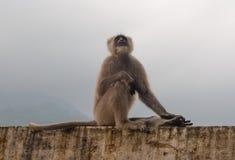 La scimmia nera in Rishikesh Fotografia Stock Libera da Diritti