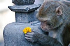 La scimmia offre un fiore Fotografie Stock Libere da Diritti