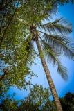 La scimmia scala su un albero per raccogliere il raccolto dei cocoes Immagine Stock Libera da Diritti