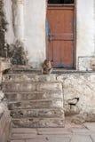 La scimmia si siede vicino alla vecchia porta Fotografia Stock