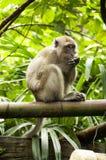 La scimmia sta mangiando sul ramo di albero Immagini Stock