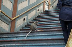 La scimmia sta mangiando una banana immagine stock libera da diritti