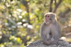 La scimmia sta sedendosi tranquillamente Fotografia Stock