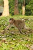 La scimmia stava camminando Immagini Stock Libere da Diritti
