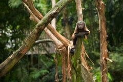 La scimmia su un albero sta fissando alla macchina fotografica Fotografia Stock