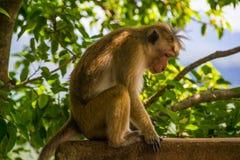 La scimmia triste si siede all'aperto Fotografia Stock