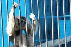 La scimmia triste si siede in gabbia Fotografia Stock