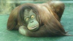 La scimmia triste si siede in una gabbia archivi video