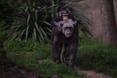 La scimmia vede la scimmia fare immagini stock