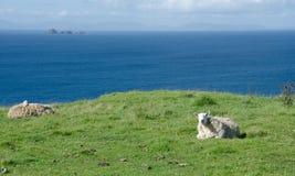 La Scozia - pecore immagine stock