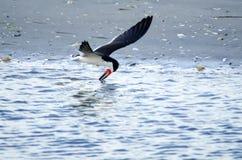 La scrematrice nera vola sopra l'acqua che cerca l'alimento Fotografia Stock
