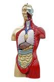 Anatomie de corps humain Photo stock