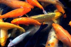 La scuola del pesce Fotografie Stock Libere da Diritti