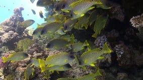 La scuola di pomadasys commersonnii del pesce sulla barriera corallina si rilassa il Mar Rosso subacqueo video d archivio