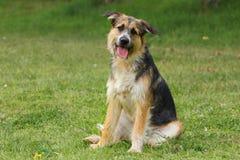 La seduta del cane della razza del pastore inclina la sua testa che ascolta con preoccuparsi e uno sguardo allegro immagini stock