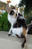 La seduta del gatto di calicò guarda da qualche parte immagini stock